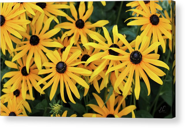Black-eyed Susans Acrylic Print featuring the photograph Field of Black-Eyed Susans by D Lee
