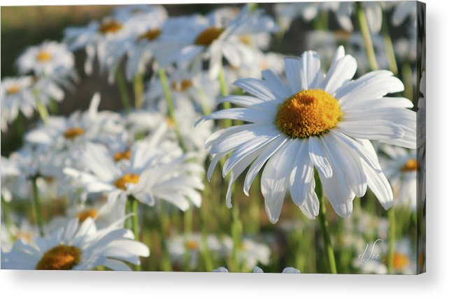 Daisy Acrylic Print featuring the photograph Field of Daisies 1 by D Lee