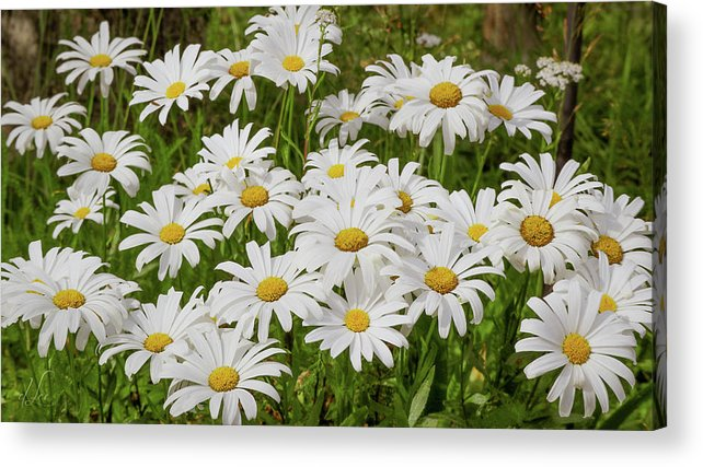 Daisy Acrylic Print featuring the photograph Field of Daisies 2 by D Lee