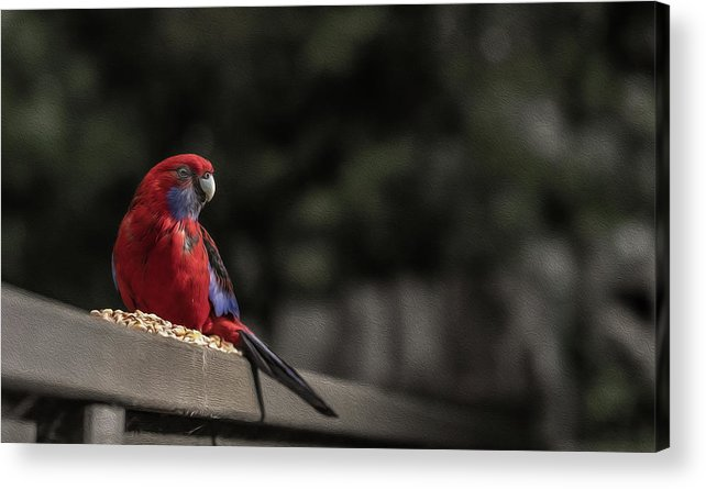 Rosella Acrylic Print featuring the photograph Rosella 1 by Leigh Henningham