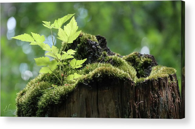 Green Leaf Acrylic Print featuring the photograph Salmonberry Bush Start Up by D Lee