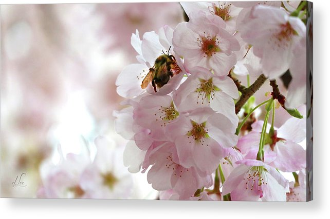 Apple Acrylic Print featuring the photograph The Bee and the Apple Blossom by D Lee