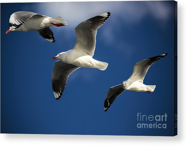 Silver Gulls Acrylic Print featuring the photograph Three silver gulls in flight by Sheila Smart Fine Art Photography