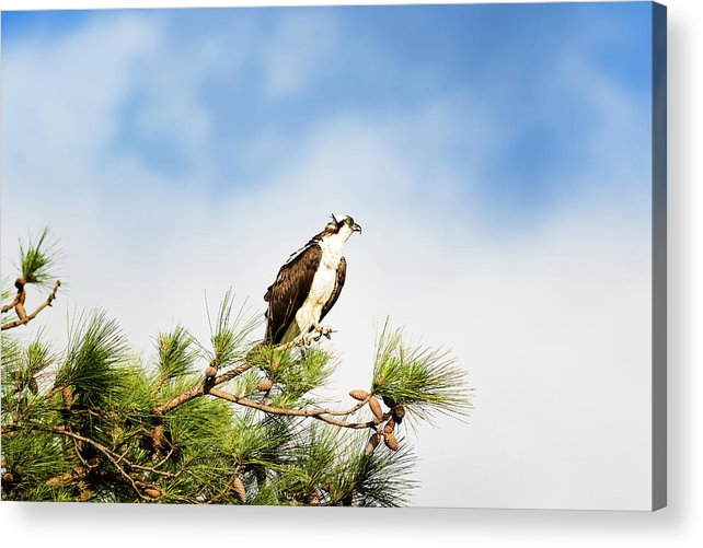 Osprey Acrylic Print featuring the photograph On High by Michael McStamp
