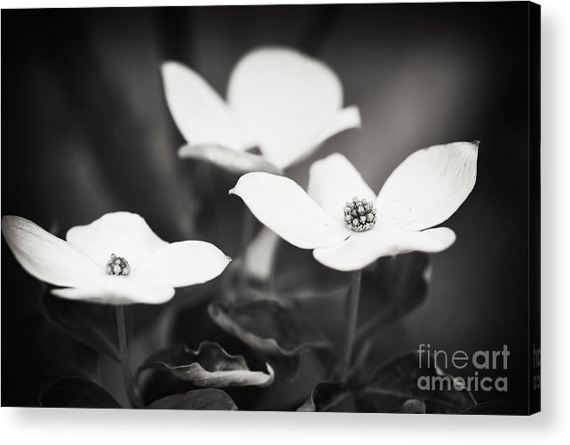 Nature Acrylic Print featuring the photograph Three Blooms of the Dogwood by Lisa McStamp