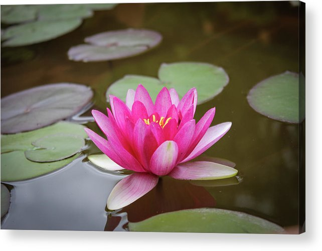 Lily Acrylic Print featuring the photograph Water Lilly, Jemez Springs NM by Fred DeSousa