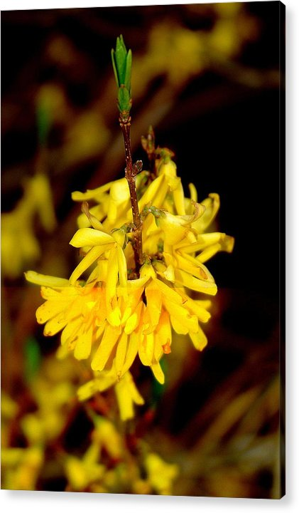 Yellow Buds Acrylic Print featuring the photograph Yellow Buds by Patrick Short