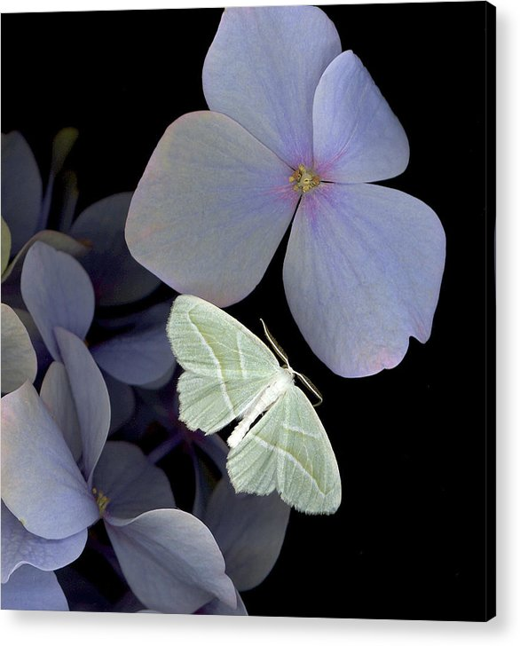 Acrylic Print featuring the photograph The Night Moth by Sandi F Hutchins