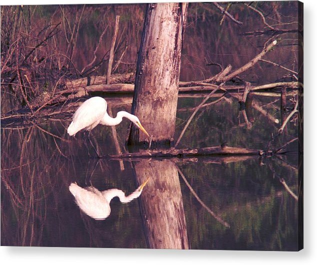 Great Egret Acrylic Print featuring the photograph 070406-17 by Mike Davis