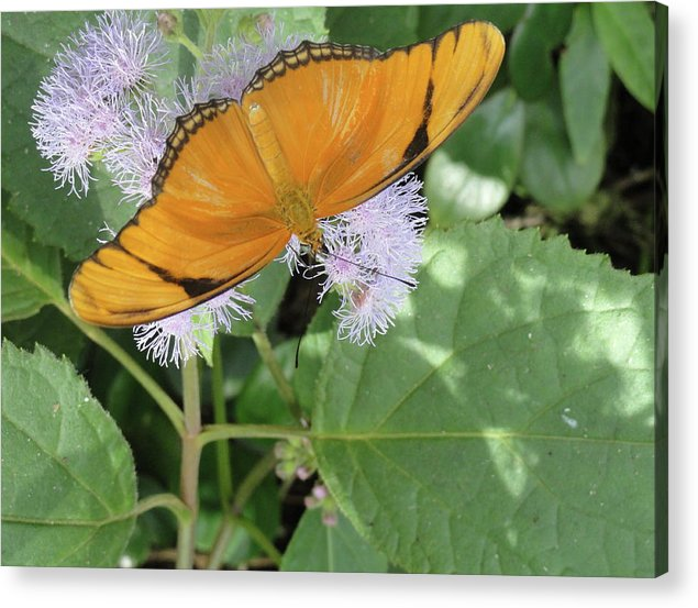 Butterfly Acrylic Print featuring the photograph Poised by Trish Hale