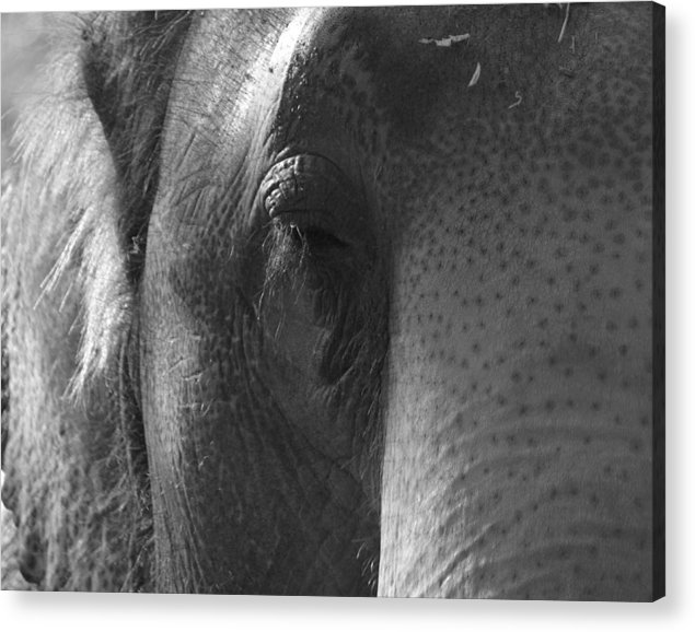Pachyderm Acrylic Print featuring the photograph Thoughts Of The Elephant by Maggy Marsh