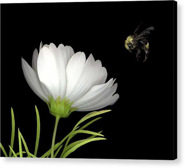 Cosmo Acrylic Print featuring the mixed media Cosmo And Bee by Sandi F Hutchins