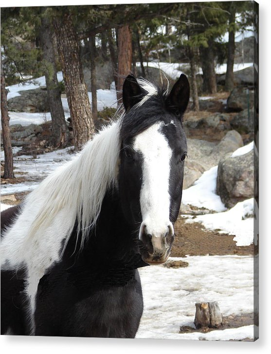 Horse Acrylic Print featuring the photograph Dakota by Ronald Britton