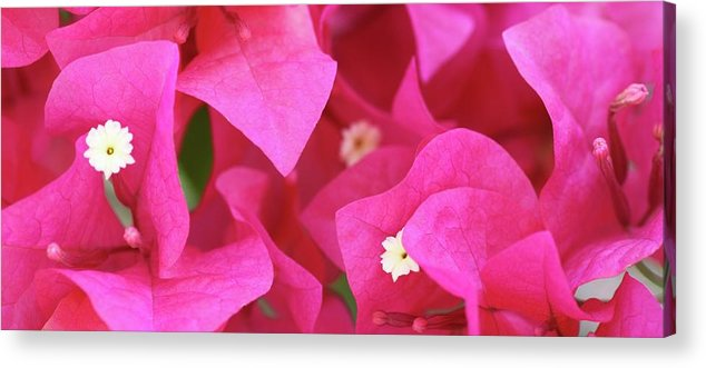 Bougainvillea Acrylic Print featuring the photograph In The Pink Today by Andrea OConnell