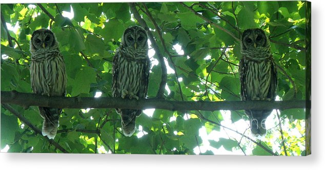 Owls Acrylic Print featuring the photograph Three Barred Owls by Lainie Wrightson