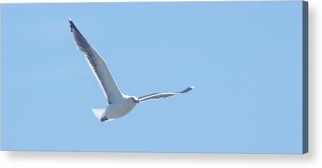 Seagull Acrylic Print featuring the photograph Soaring by Steven Natanson
