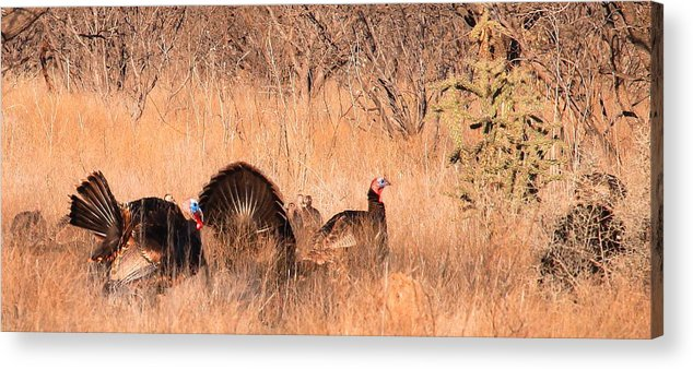 Wild Turkey Acrylic Print featuring the photograph Spring Turkeys by Mark Short