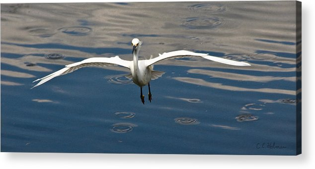 Snowy Egret Acrylic Print featuring the photograph Gear Down by Christopher Holmes