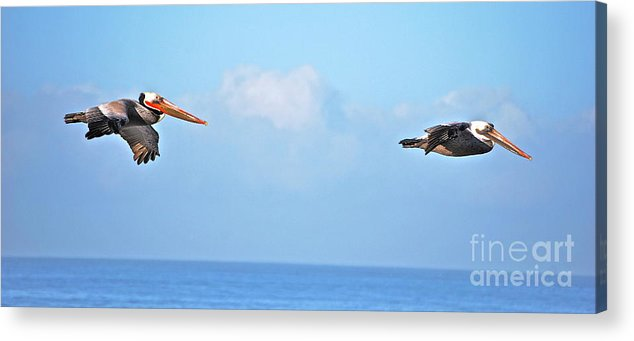 Pelicans Acrylic Print featuring the photograph Pelicans In Flight by Lori Leigh