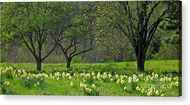 Spring Acrylic Print featuring the photograph Daffodil Meadow by Ann Horn