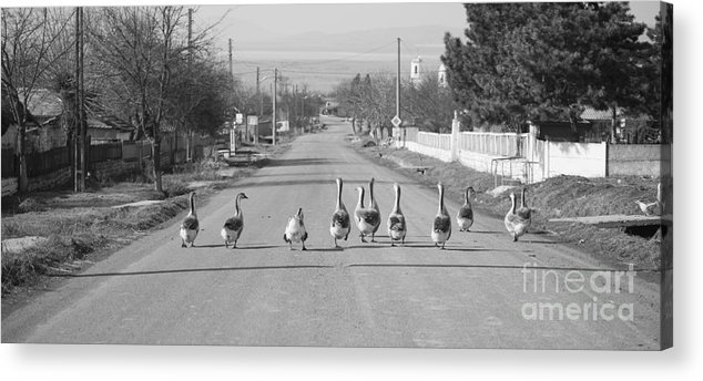 Flock Of Geese Acrylic Print featuring the photograph The Owners Of The Road by Gabriela Insuratelu