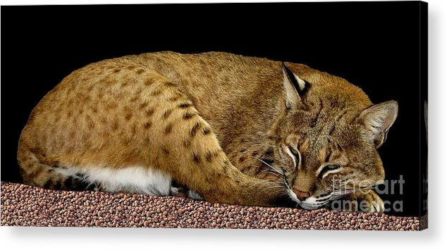 Bobcats Acrylic Print featuring the photograph Bobcat by Rose Santuci-Sofranko