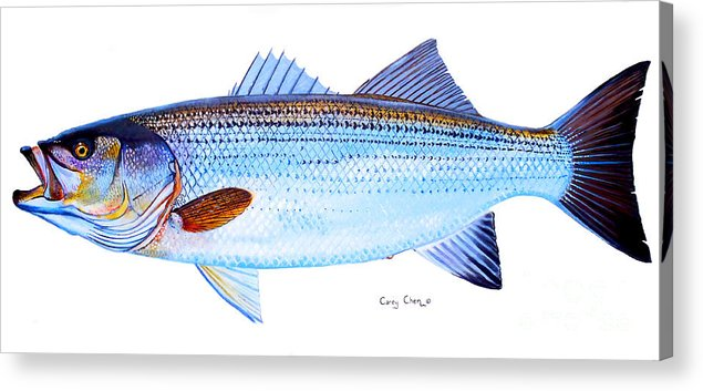 Striped Bass Acrylic Print featuring the painting Striped Bass by Carey Chen