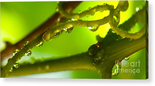 Vineyard Acrylic Print featuring the photograph The Vineyard After The Rain by Artist and Photographer Laura Wrede