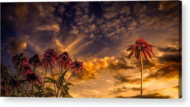 Flower Acrylic Print featuring the photograph Echinacea Sunset by Bob Orsillo