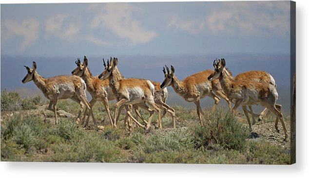 Pronghorn Acrylic Print featuring the photograph Pronghorn Antelope Running by Heather Coen