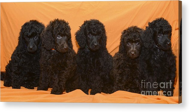 Black Miniature Poodle Acrylic Print featuring the photograph Five Poodle Puppies by Amir Paz