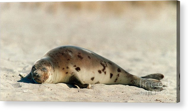 Seals Acrylic Print featuring the photograph Juvenile Harp Seal Basking In The Sun by Matt Suess