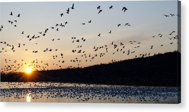 Snow Geese Acrylic Print featuring the photograph Snow Geese At Sunrise by Crystal Wightman