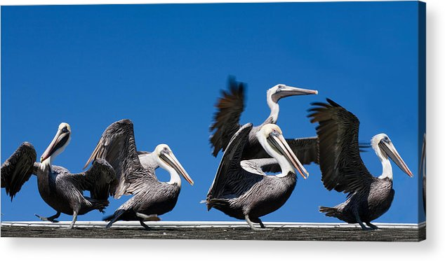 Pelicans Acrylic Print featuring the photograph Pelicans Take Flight by Mal Bray