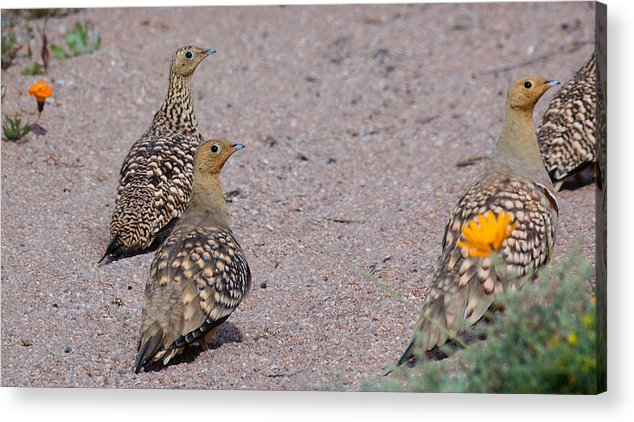 Bird Acrylic Print featuring the photograph Namaqua Sandgrouse by Claudio Maioli
