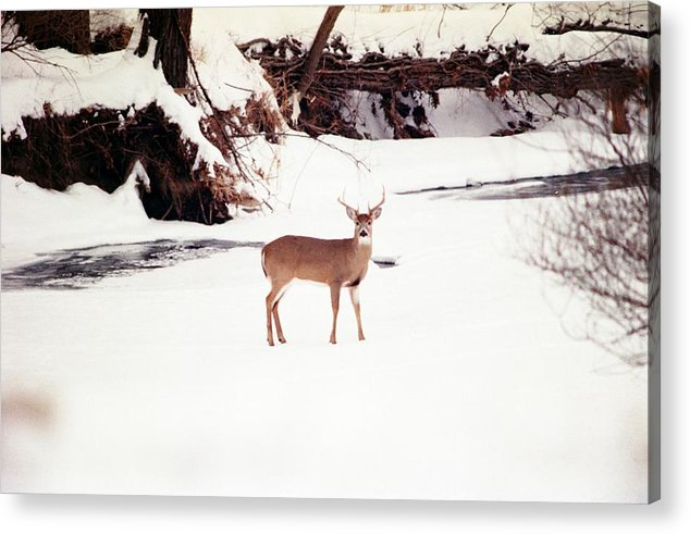 Whitetail Deer Acrylic Print featuring the photograph 080706-89 by Mike Davis