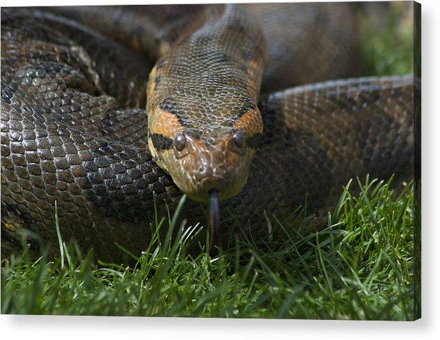 Anacondas Acrylic Print featuring the photograph Anaconda by Susan Heller