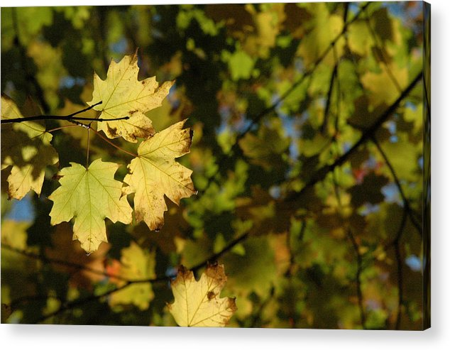 Yellow. Leaves Acrylic Print featuring the photograph Golden Morning by Trish Hale