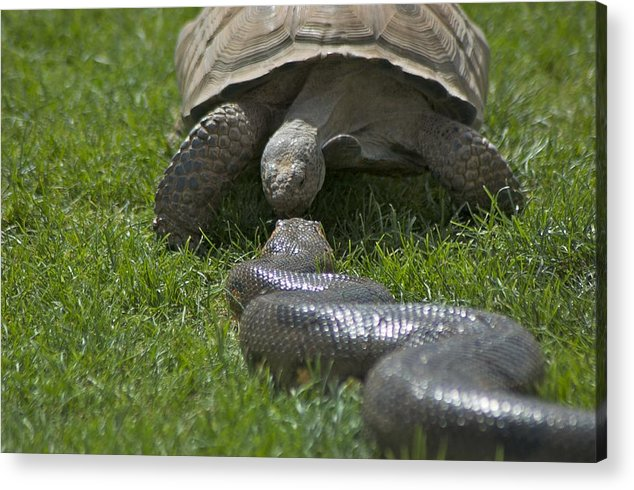 Kissing Acrylic Print featuring the photograph Tortoise Kissing An Anaconda by Susan Heller