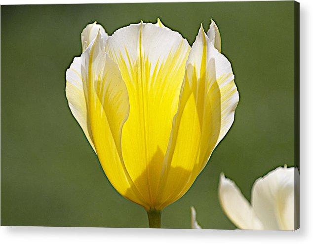 Tulips Acrylic Print featuring the photograph Keukenhof0018 by Robert Van Es