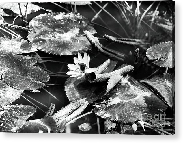 Texas Lily Pond Acrylic Print featuring the photograph Texas Lily Pond by John Rizzuto