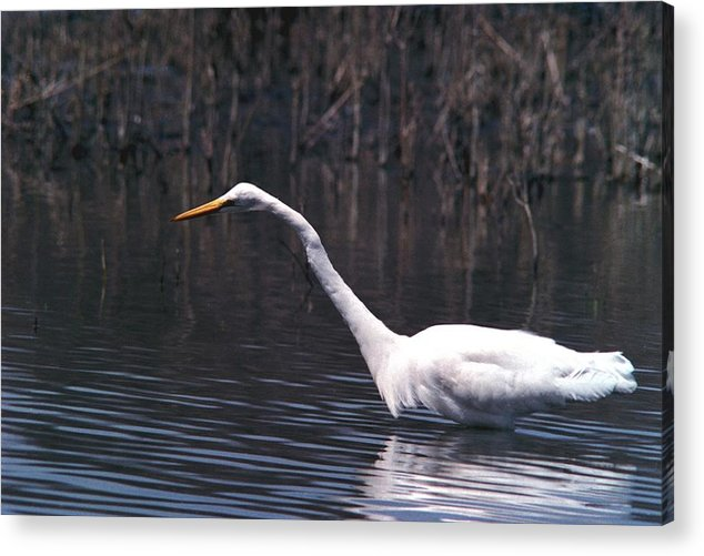 Great Egret Acrylic Print featuring the photograph 070406-8 by Mike Davis
