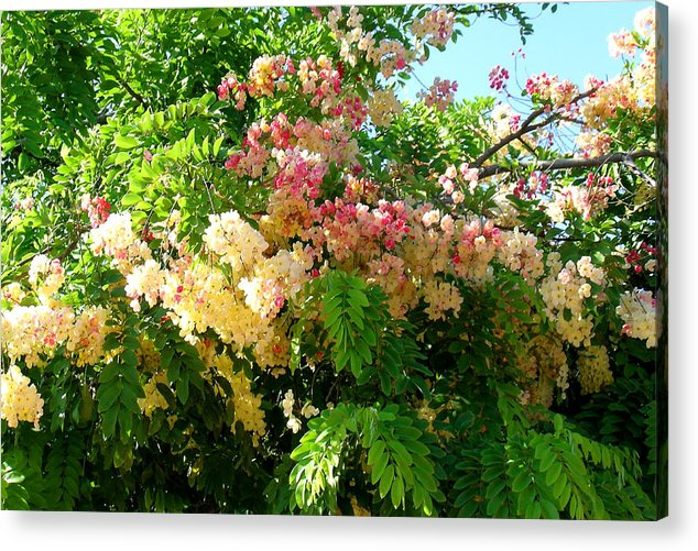 Image result for rainbow shower tree