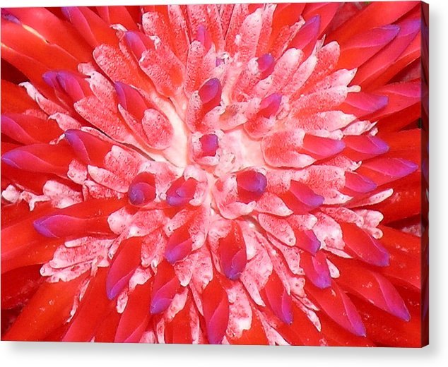 Hawaii Iphone Cases Acrylic Print featuring the photograph Molokai Bromeliad by James Temple