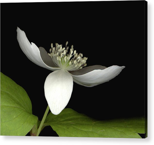 Acrylic Print featuring the photograph Little White by Sandi F Hutchins