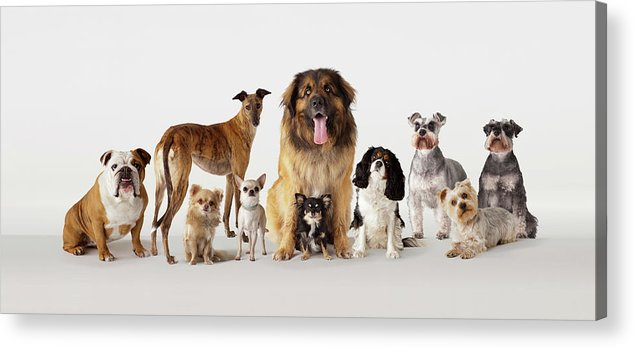 Pets Acrylic Print featuring the photograph Group Portrait Of Dogs by Compassionate Eye Foundation/david Leahy