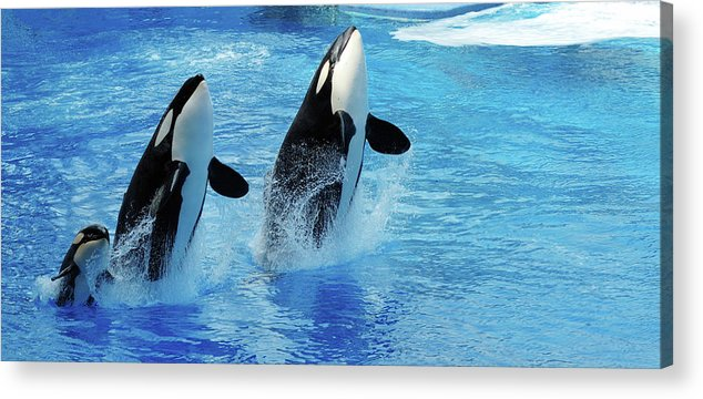 Panoramic Acrylic Print featuring the photograph Killer Whale Family Jumping Out Of Water by Purdue9394