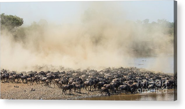 Jumping Acrylic Print featuring the photograph Big Herd Of Wildebeest Is About Mara by Gudkov Andrey
