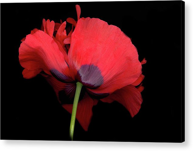 Red Poppy Acrylic Print featuring the digital art RED Poppy by Sandi F Hutchins