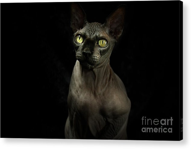 Hairless Cat Acrylic Print featuring the photograph Sphynx Cat Portrait by Glenda Wright
